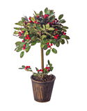 MED HOLLY TOPIARY